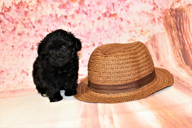 1 Peace Male CKC Maltipoo 1lb 6oz 6W3D old (28)