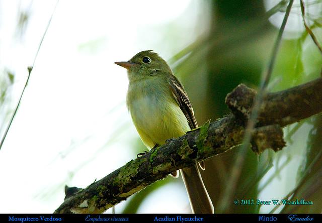 ACADIAN FLYCATCHER Empidonax virescens in Mindo in Northwestern ECUADOR. Photo by Peter Wendelken.