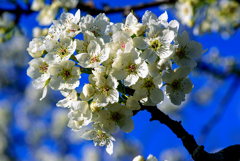 Pear Blossom Group