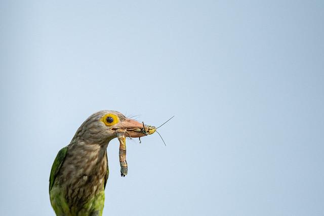 Grasshopper meal