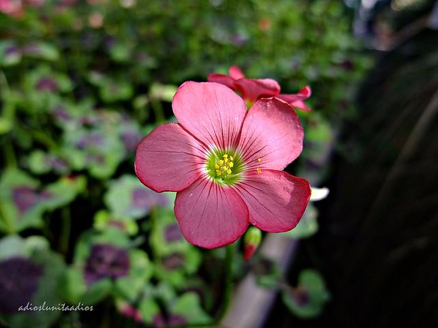 Flor trébol de cuatro hojas. Belleza en solitario. 003