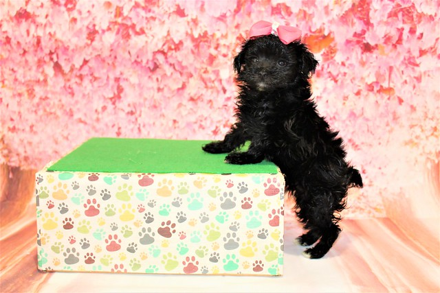 Love Female CKC Maltipoo 1lb 2oz 6W3D old (14)