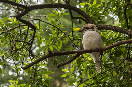 австралия australia melbourne мельбурн пейзаж landscape лес forest эвкалипт eucalyptus dmilokt птица bird