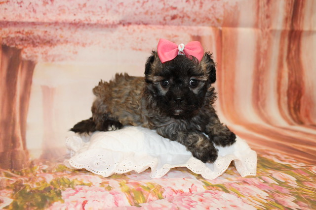 1 Bailey Female CKC Maltipoo 2lb 1.5oz 6W3D old (31)