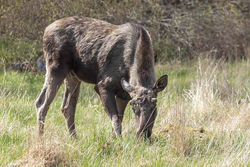Älgporträtt/Moose portrait