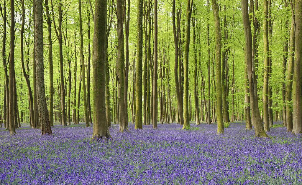 South Downs Bluebell Woods (Explored)