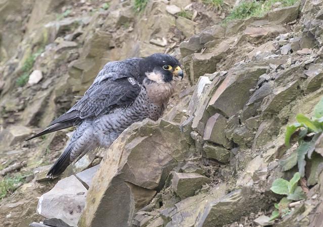 Peregrine Falcon (Falco peregrinus) 9308