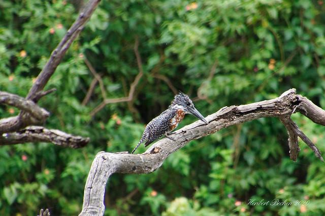 DSC05567 L4  Kingfisher