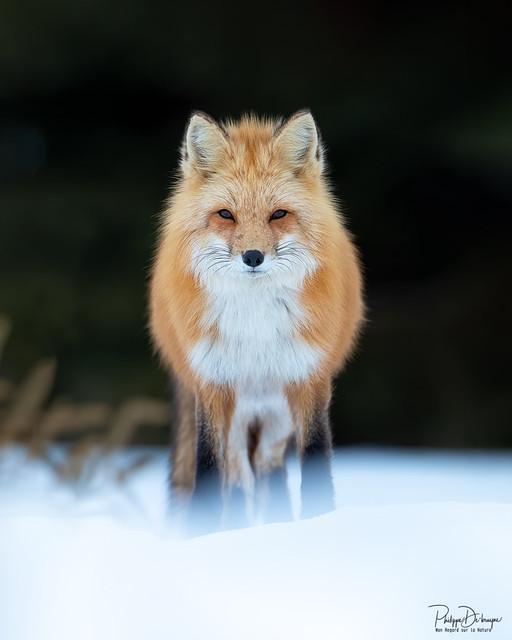 Red fox !!