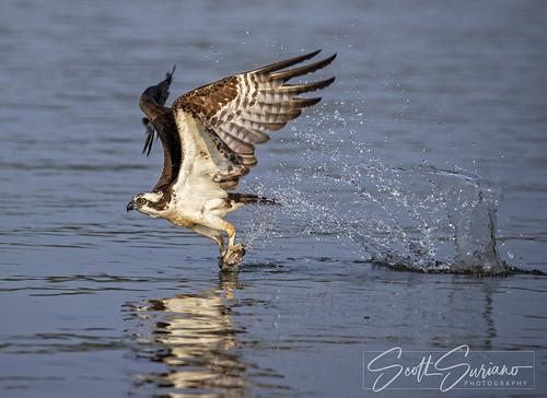 Fish Hawk...