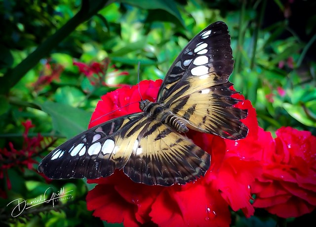Schmetterling auf roten Blumen