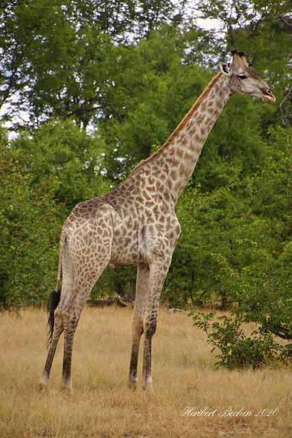 DSC05526 L4  Giraffe