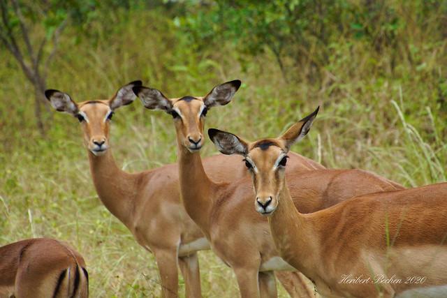 DSC05520 L4  Antilopen