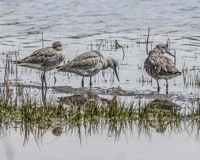 Willet reflections