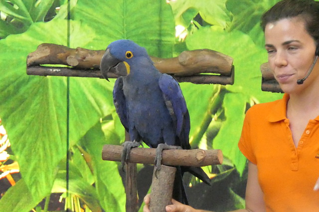 Hyacinth Macaw [5]