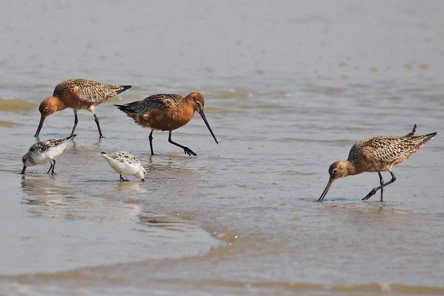 Bar Tailed Godwit  (Limosa lapponica) Taken on my permitted daily exercise walk from home