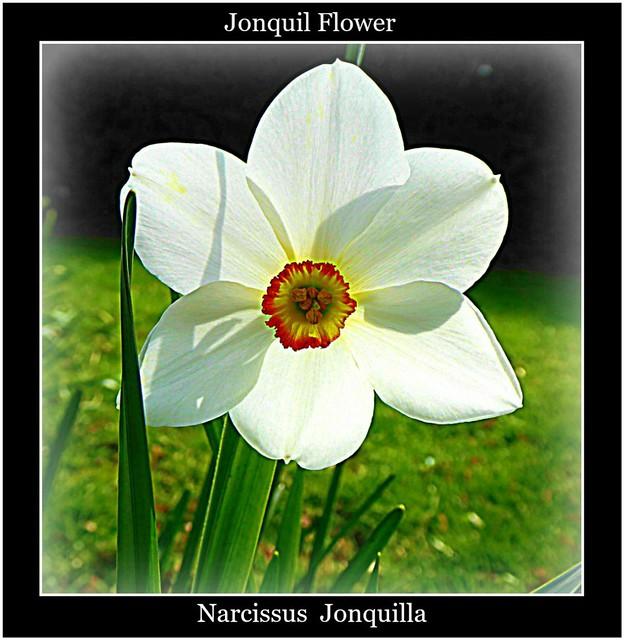 Single Jonquil Flower ..
