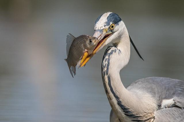 The big catch 😃  / Grey heron (Ardea cinerea)