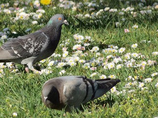Pigeons, white  daisies and dandelions