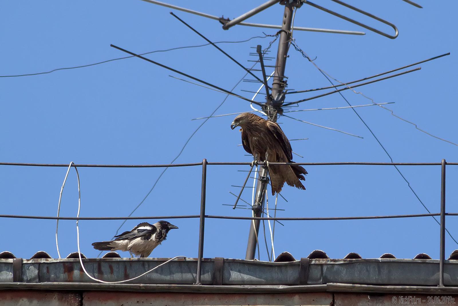 5. Чёрный коршун и Серая ворона © NickFW.ru - 26.06.2019г.