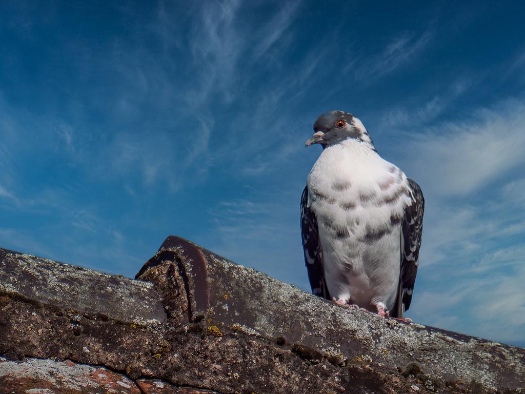 Pigeon blanc sur le toit... 49834517606_1cb3b0f469_b