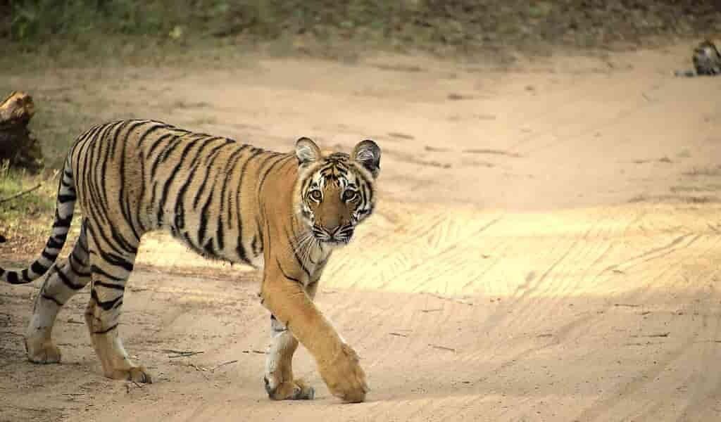 la-survie-des-tigres-menacée-par-la-construction-de-routes