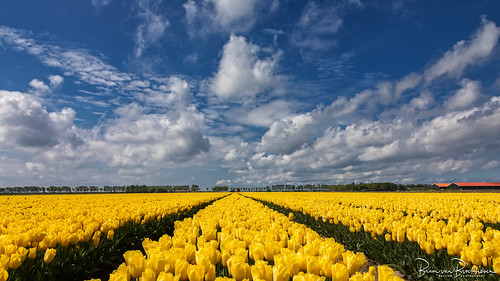 Still found a field with yellow tulips