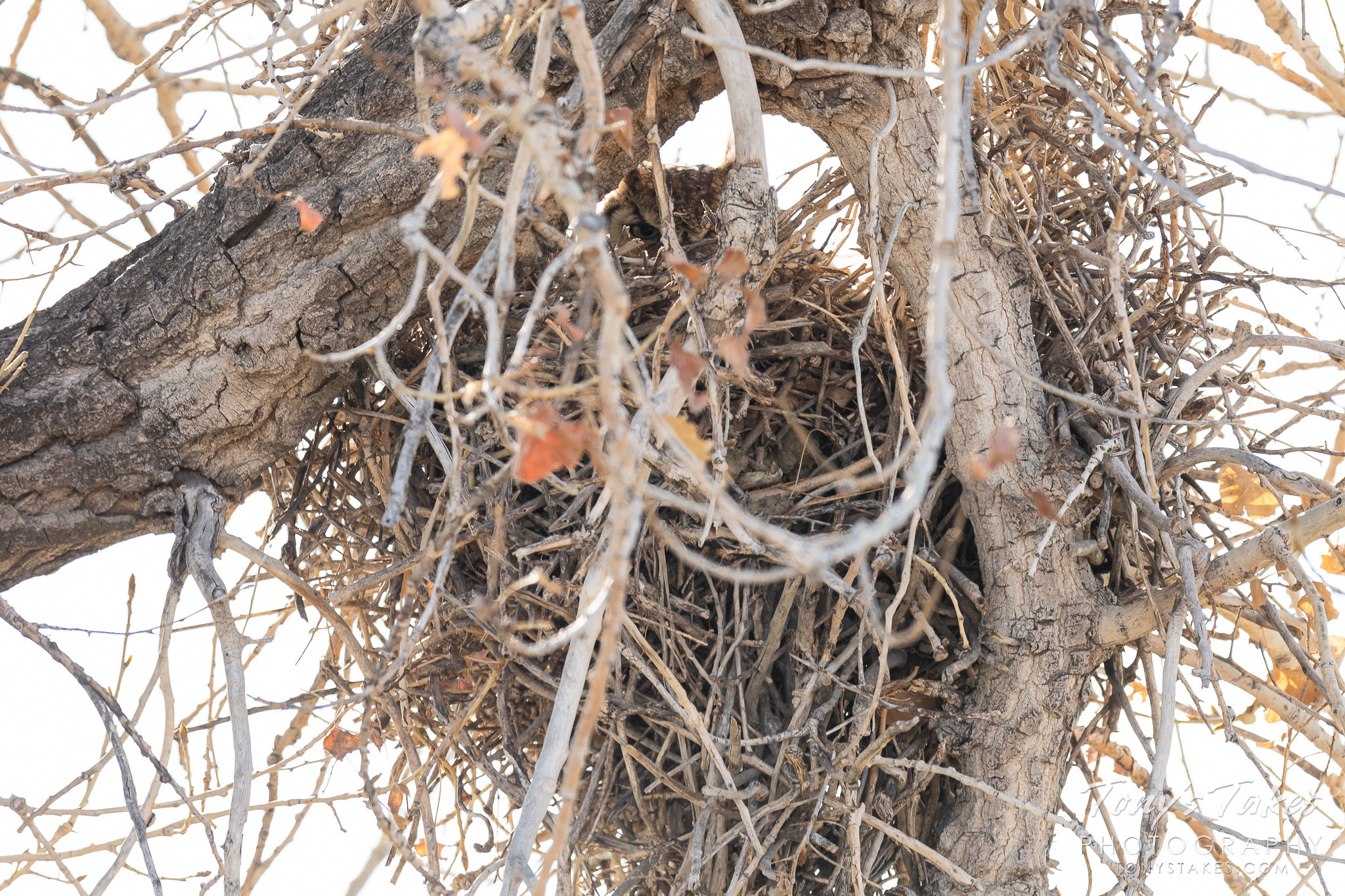 Great horned #owl takes over a magpie nest