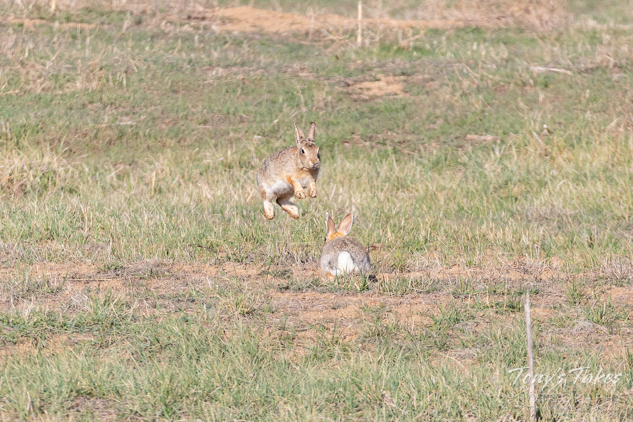 Rabbits bounce around each other in a courtship display. (© Tony's Takes)