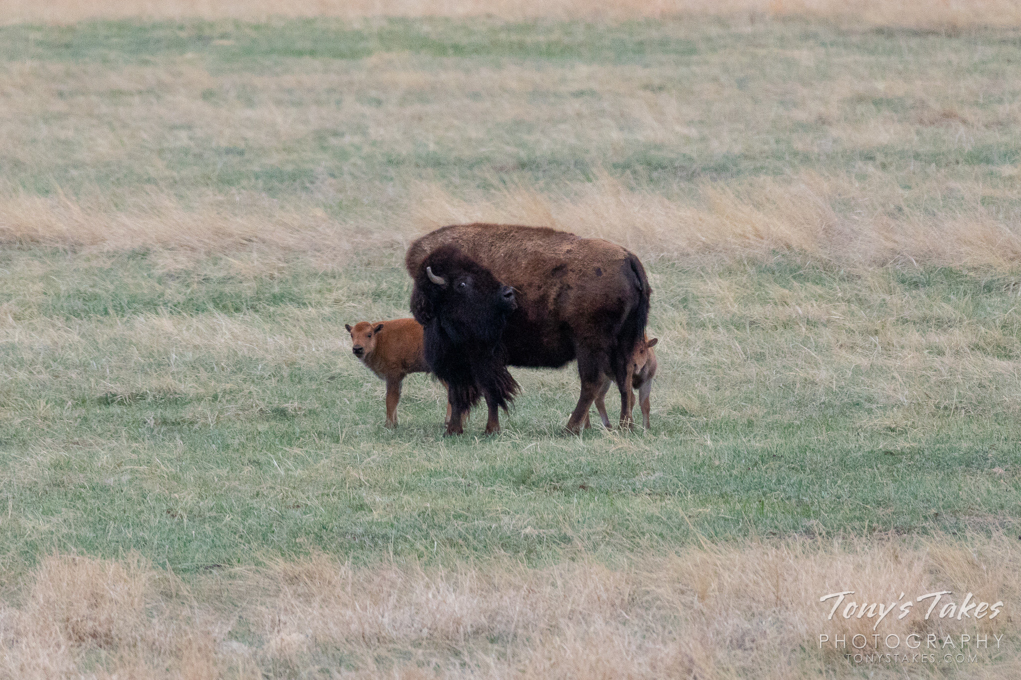 A pair of bison calves with their mother at the Rocky Mountain Arsenal National Wildlife Refuge. (© Tony's Takes)
