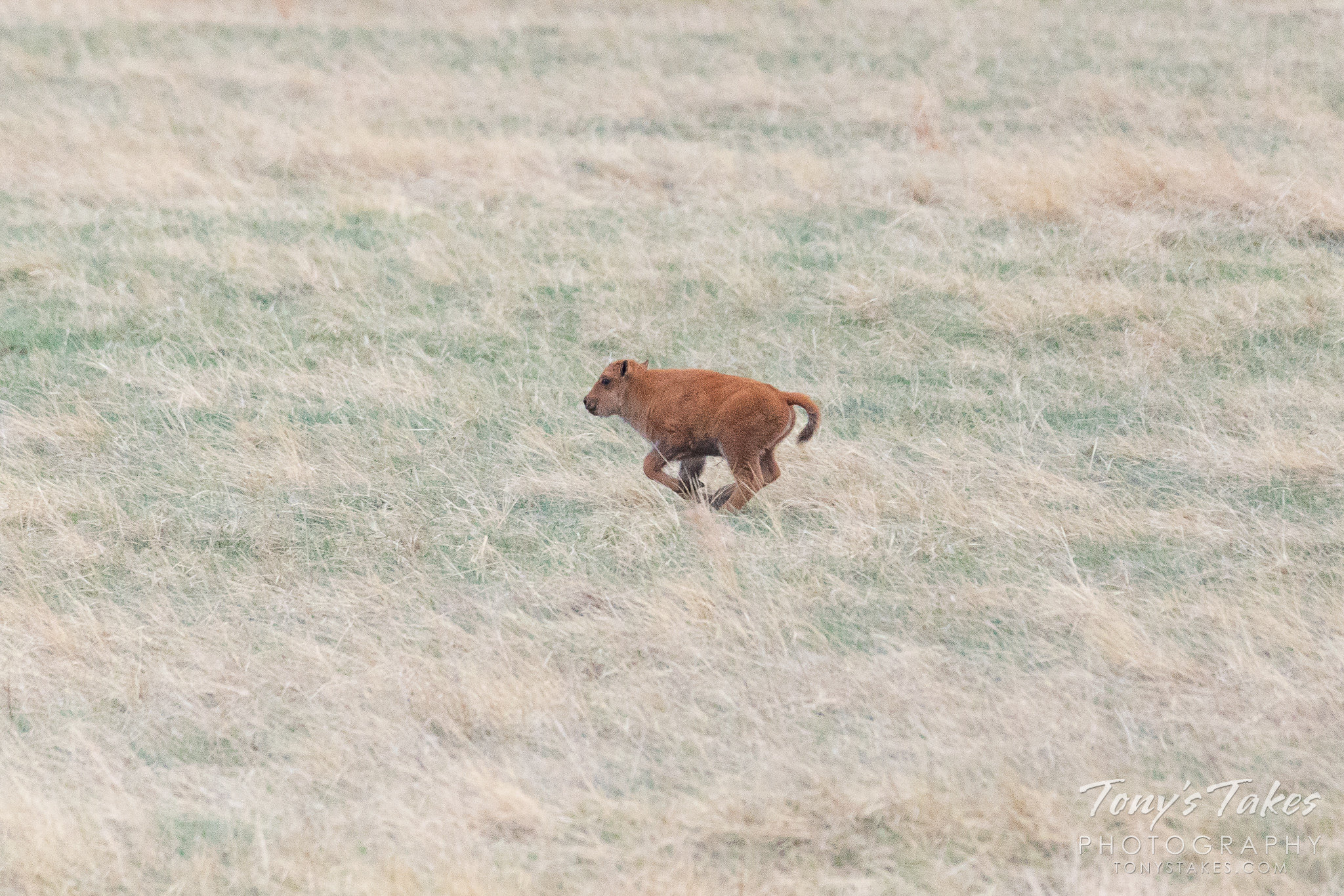 A bison calf on the run at the Rocky Mountain Arsenal National Wildlife Refuge. (© Tony's Takes)