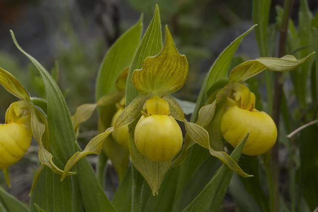 Cypripedium parviflorum, variety exiliens?