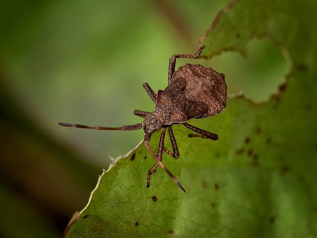 Dock bug Coreus marginatus (Immature )