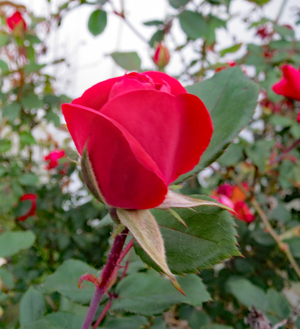 Red Rose Blooming.