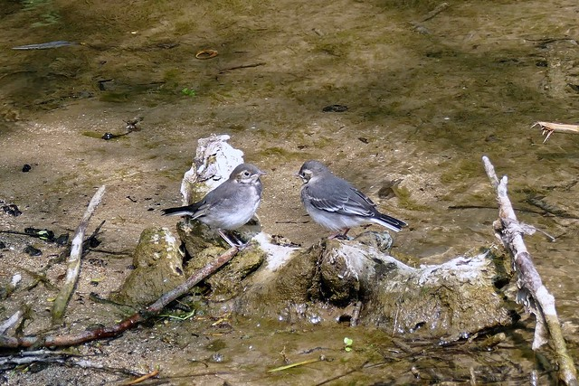 Bergeronnettes grises juvéniles (motacilla alba)