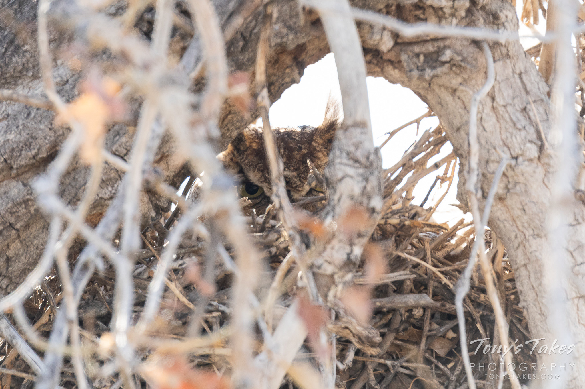 A very well hidden great horned owl in what used to be a magpie nest. (© Tony's Takes)