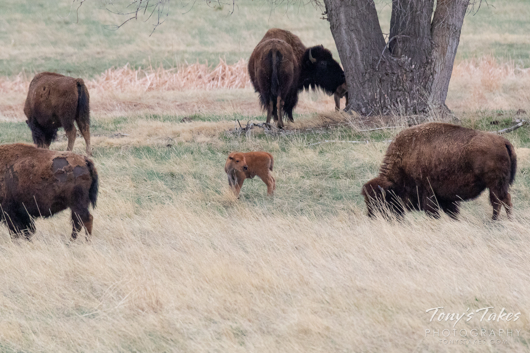 A bison calf stands with some of the herd at the Rocky Mountain Arsenal National Wildlife Refuge. (© Tony's Takes)