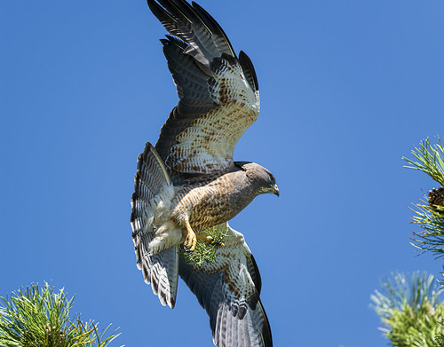 swainson_hawk_carrying_nest_material-20200429-101