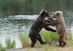 Dancing Brown Bears - 1426b+