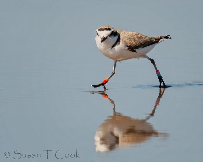Another Banded Snowy Plover by Sue Cook