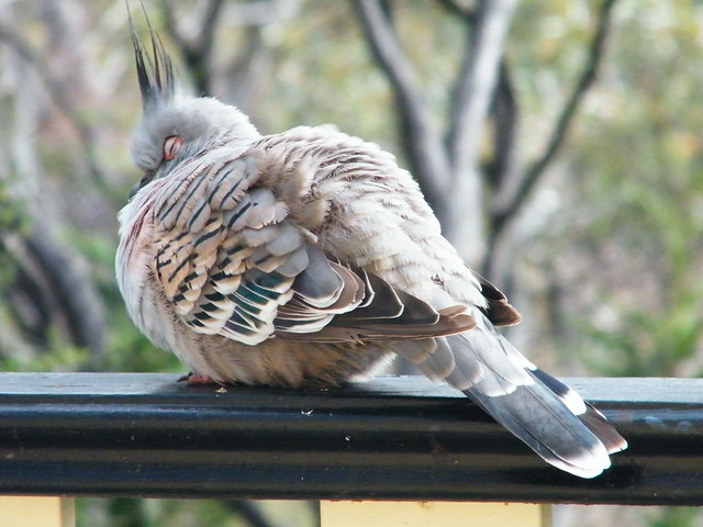 A crested pigeon - also one of the resident avians.