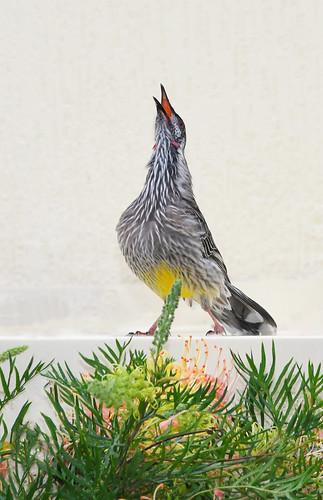 redwattlebird anthochaeracarunculata meliphagidae aves bird birdsofaustralia australia nsw newsouthwales nature wildlife passeriformes autumn fauna vertebrate