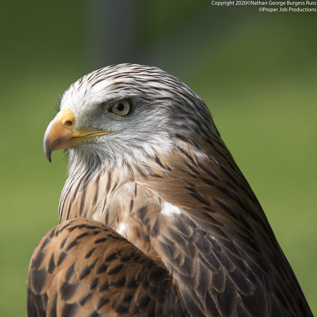 Red Kite - (Milvus milvus)
