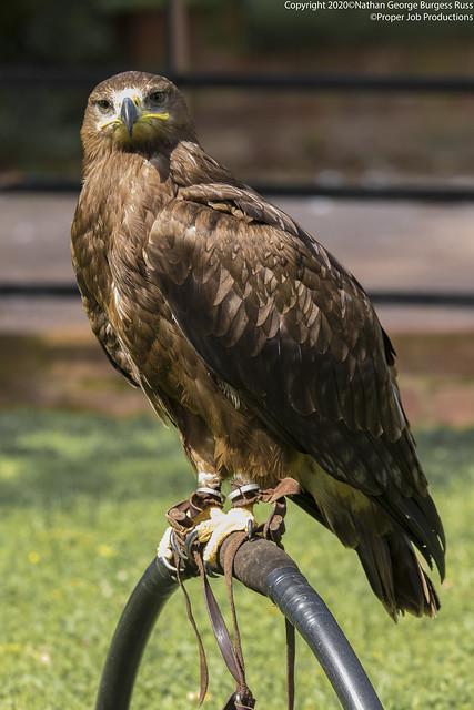 Steppe Eagle - (Aquila nipalensis)