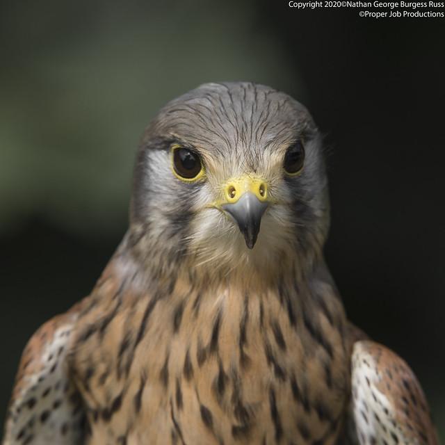 Common Kestral - (Falco tinnunculus)