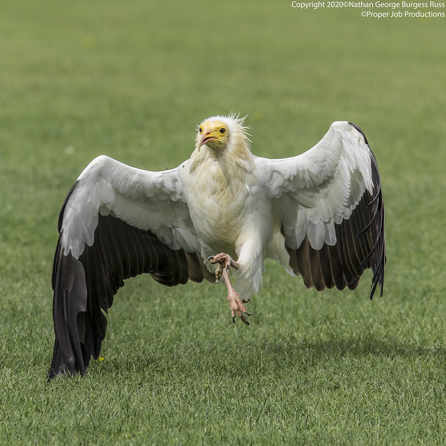 Egyptian Vulture - (Neophron percnopterus)