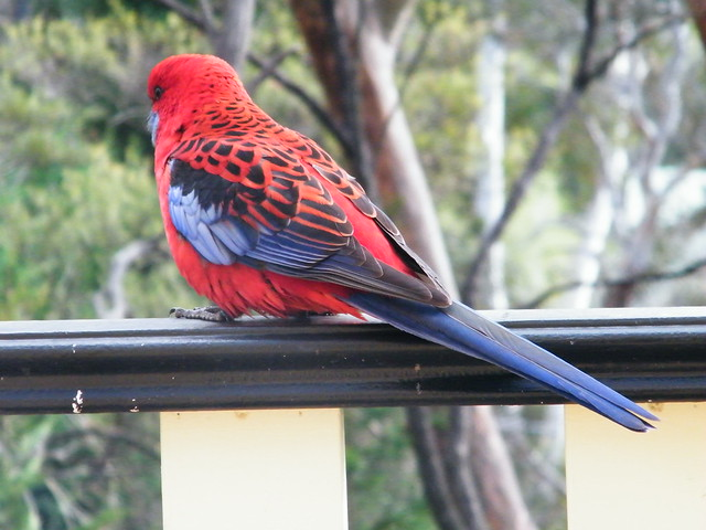 A crimson rosella - my replacement for sparrows!