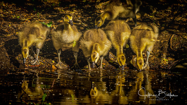 Goslings at water hole-seen in Explore 4/30/2020 #247