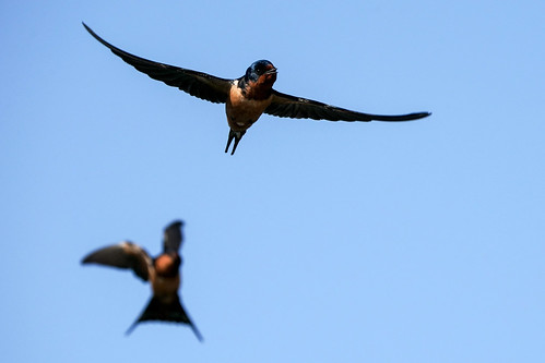 Swallow Chase[Explored]