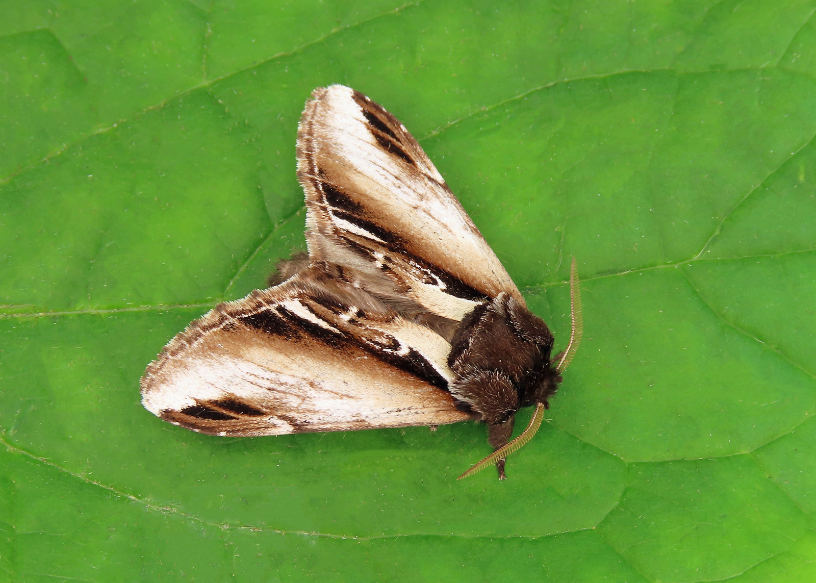 71.018 Lesser Swallow Prominent-  Pheosia gnoma